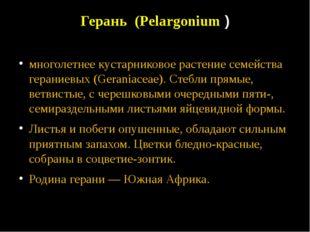 Герань (Pelargonium ) многолетнее кустарниковое растение семейства гераниевых