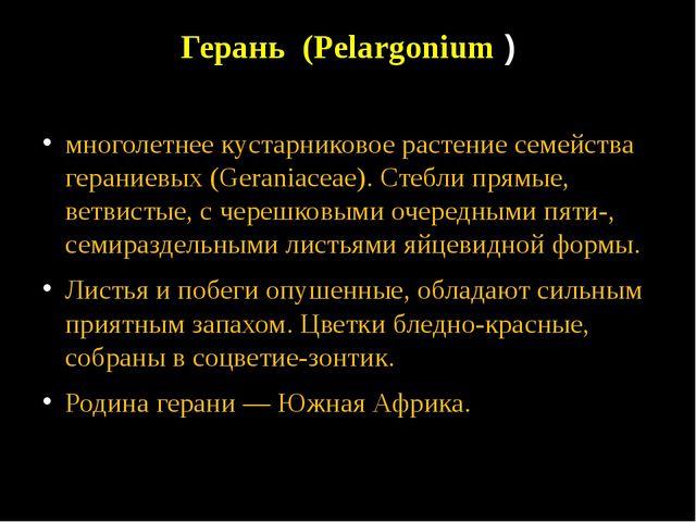 Герань (Pelargonium ) многолетнее кустарниковое растение семейства гераниевых...
