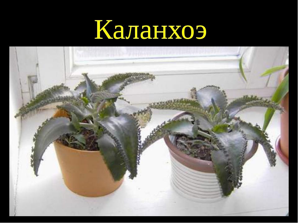 Каланхоэ