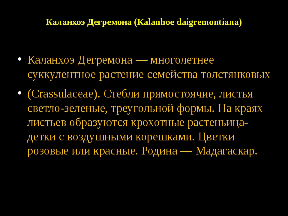 Каланхоэ Дегремона (Каlanhoe daigremontiana) Каланхоэ Дегремона — многолетнее...
