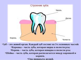Зуб – это живой орган. Каждый зуб состоит из 3-х основных частей: Коронка –