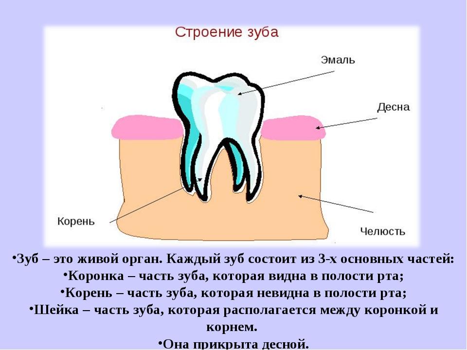 Зуб – это живой орган. Каждый зуб состоит из 3-х основных частей: Коронка –...