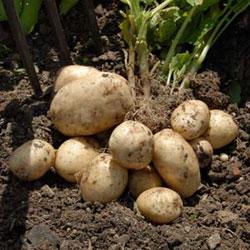 semennoi-kartofel5