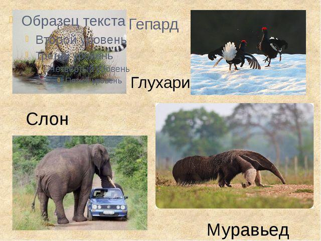 Гепард Глухари Слон Муравьед
