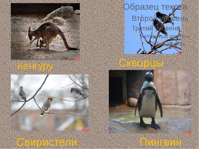 Кенгуру Пингвин Свиристели Скворцы