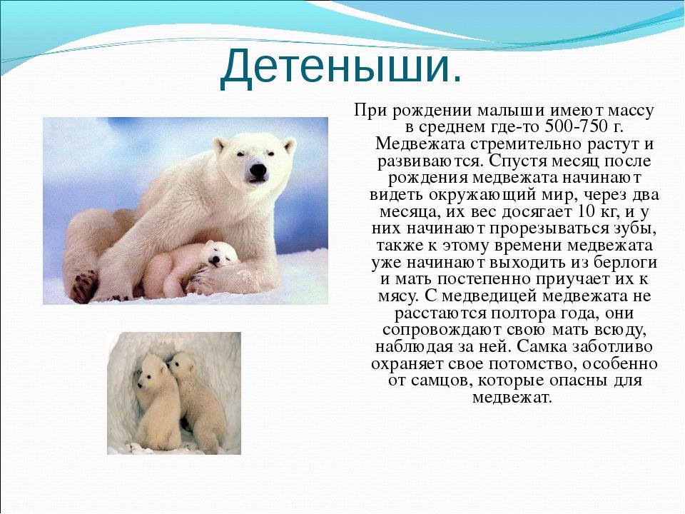 Детеныши. При рождении малыши имеют массу в среднем где-то 500-750 г. Медвежа...