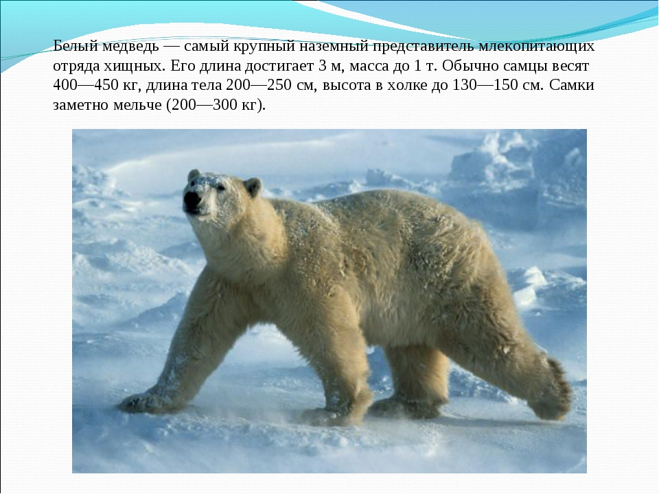 Белый медведь— самый крупный наземный представитель млекопитающих отрядахищ...