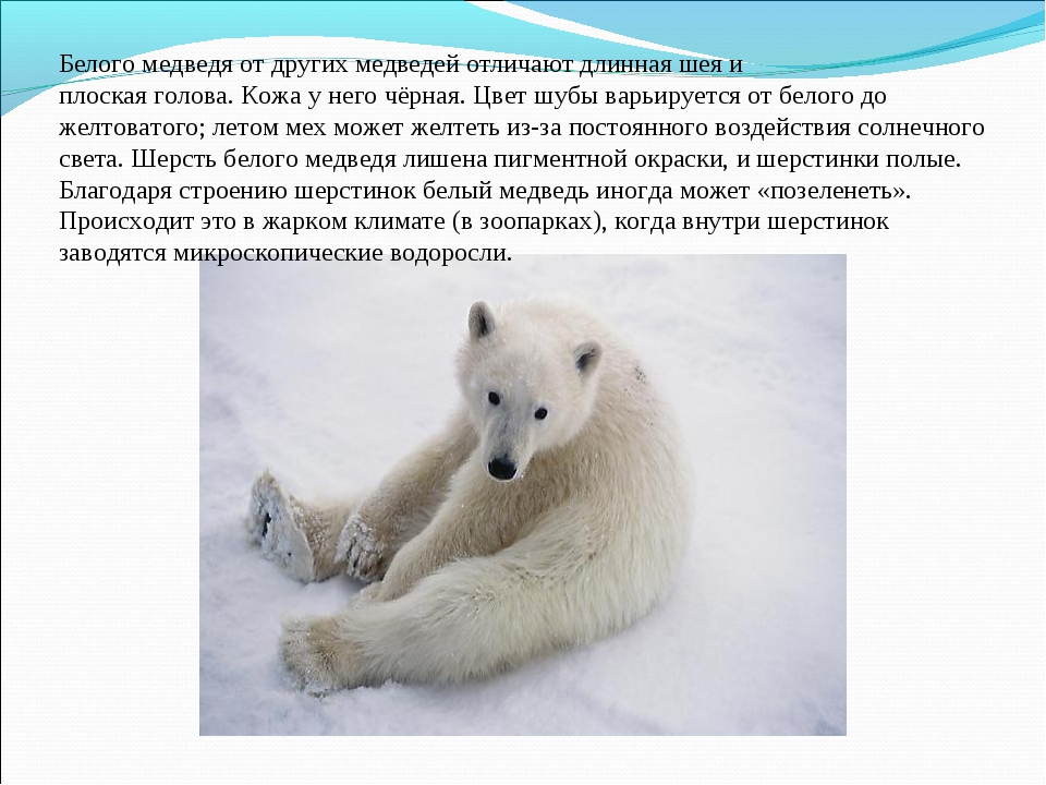 Белого медведя от другихмедведейотличают длиннаяшеяи плоскаяголова.Кожа...