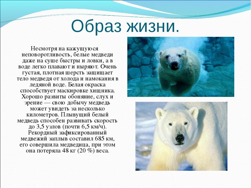 Образ жизни. Несмотря на кажущуюся неповоротливость, белые медведи даже на су...
