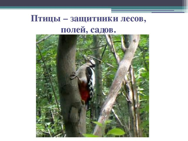 Птицы – защитники лесов, полей, садов.