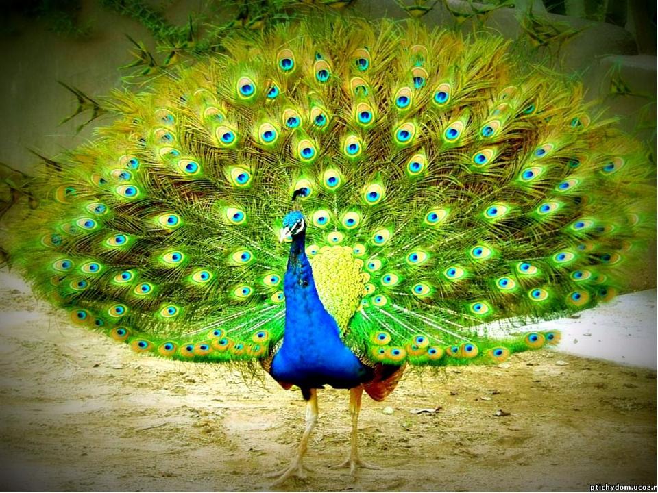 Какую птицу за ее красоту птицы избрали царем?
