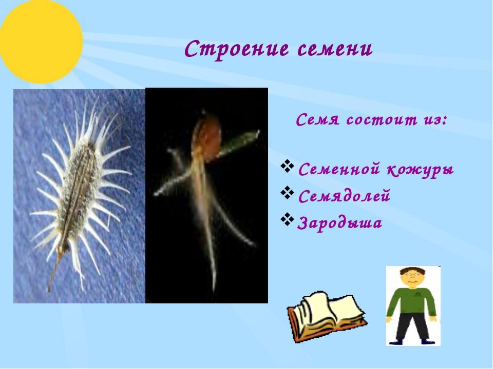 Строение семени Семя состоит из: Семенной кожуры Семядолей Зародыша