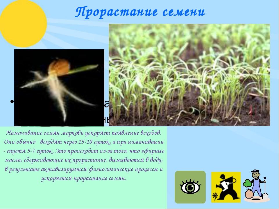 Прорастание семени Намачивание семян моркови ускоряет появление всходов. Они...