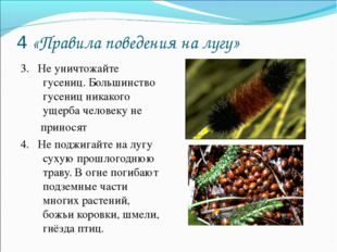 4 «Правила поведения на лугу» 3. Не уничтожайте гусениц. Большинство гусениц
