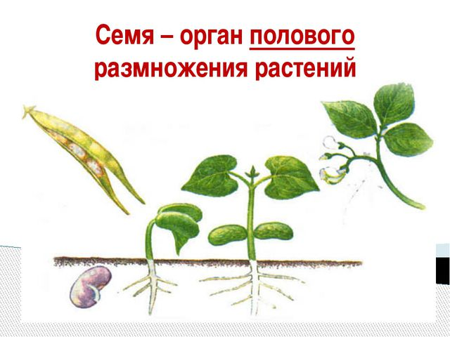 Семя – орган полового размножения растений