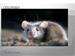 COLOURS! A grey mouse.