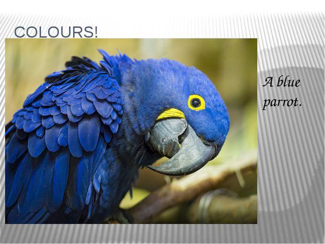 COLOURS! A blue parrot.