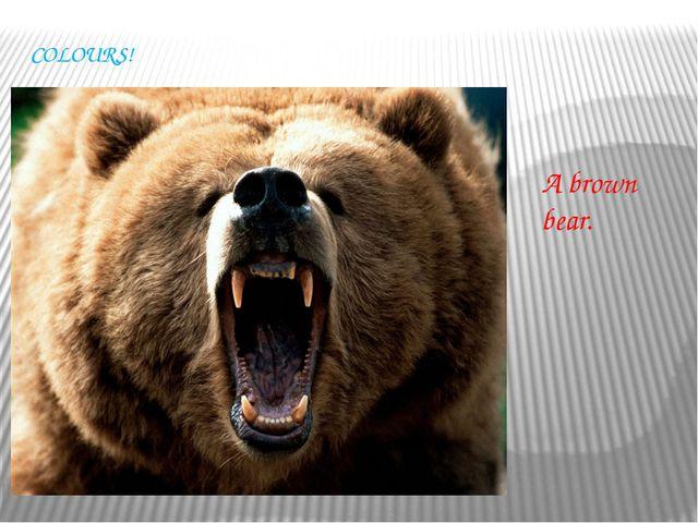 COLOURS! A brown bear.