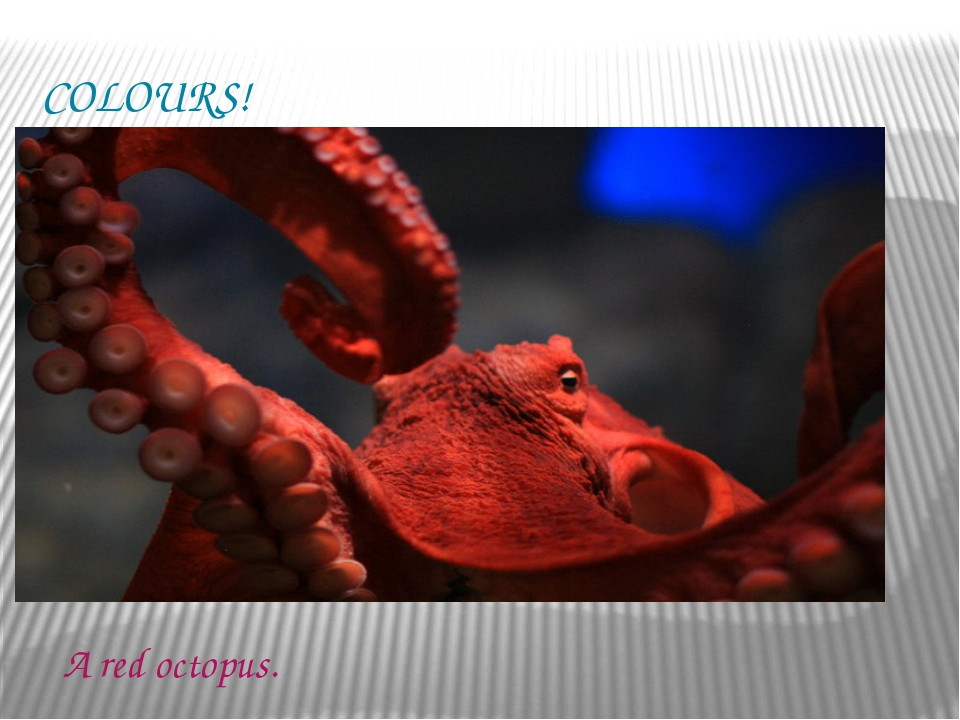 COLOURS! A red octopus.