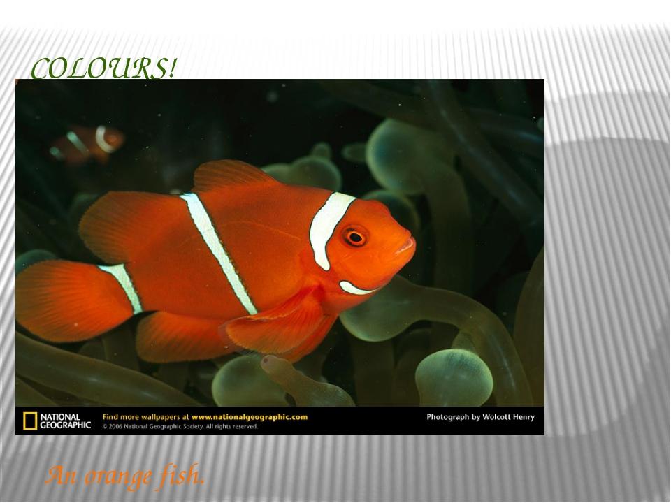 COLOURS! An orange fish.
