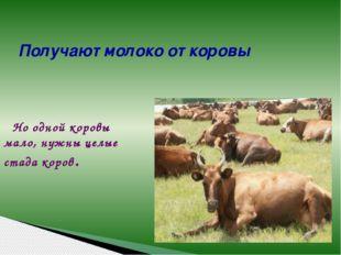 Но одной коровы мало, нужны целые стада коров. Получают молоко от коровы