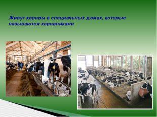 Живут коровы в специальных домах, которые называются коровниками
