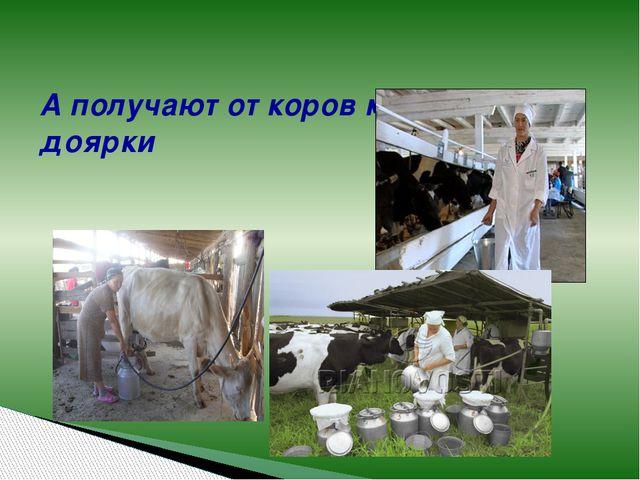 А получают от коров молоко доярки