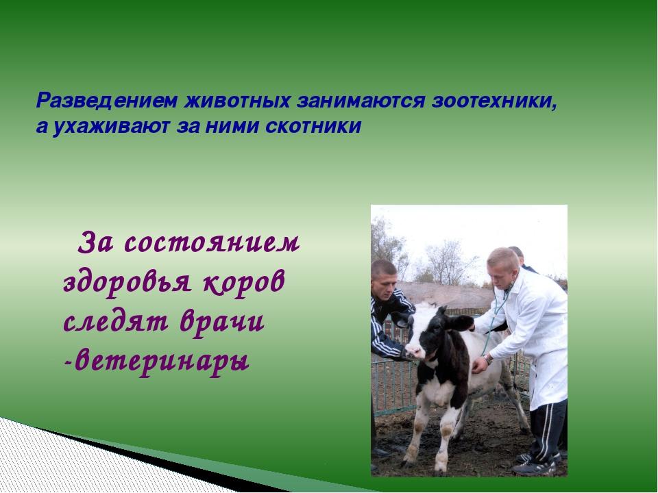 За состоянием здоровья коров следят врачи -ветеринары Разведением животных з...