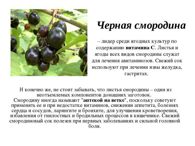 Черная смородина И конечно же, не стоит забывать, что листья смородины – один...