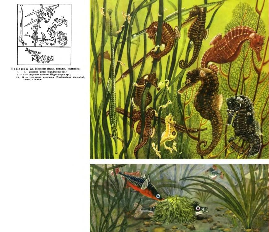 Семейство Колюшковые (Gasterosteidae)