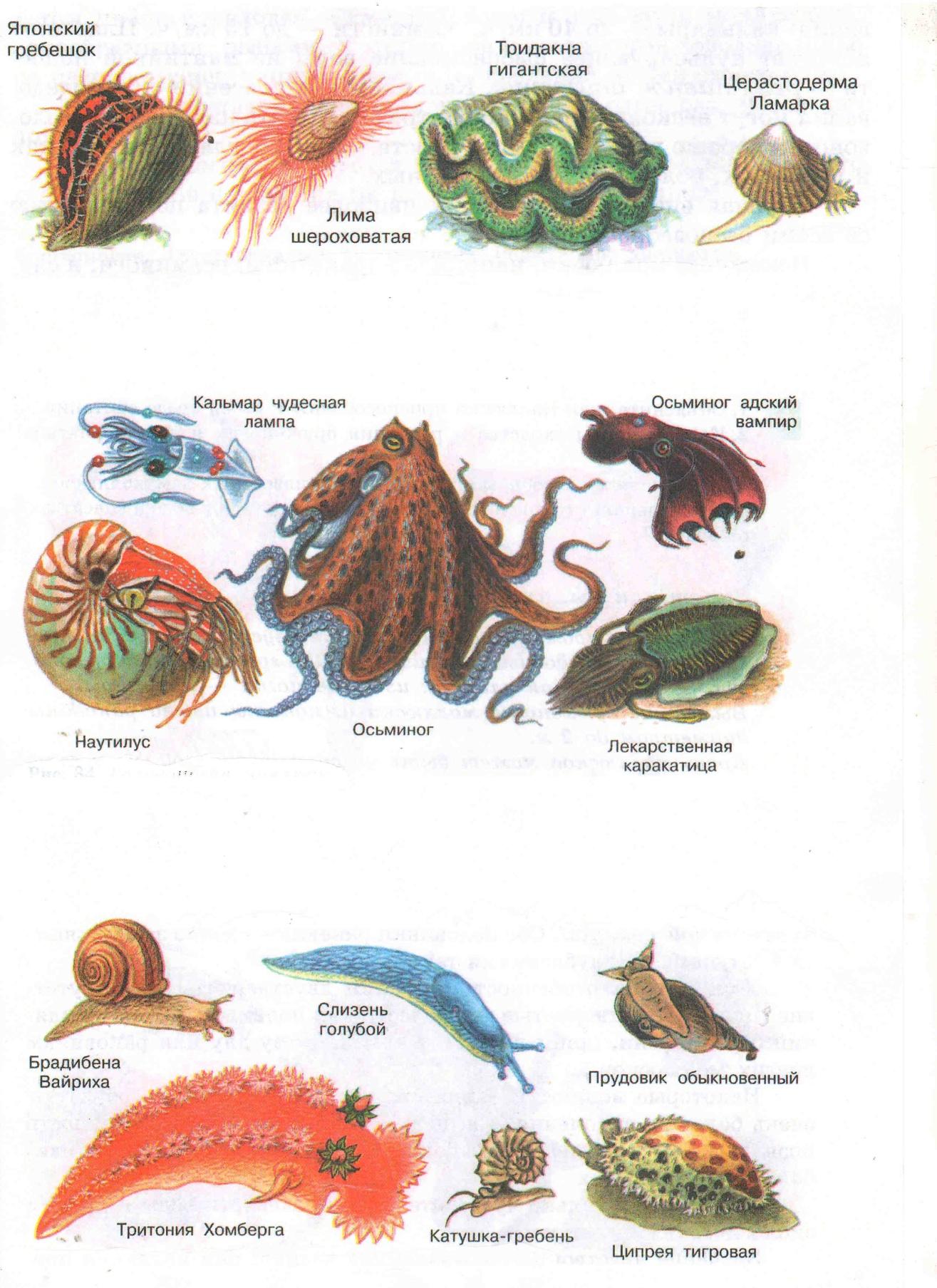 моллюски представители