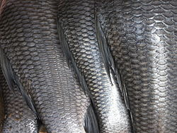 http://upload.wikimedia.org/wikipedia/commons/thumb/2/2c/Fish_scales.jpg/250px-Fish_scales.jpg
