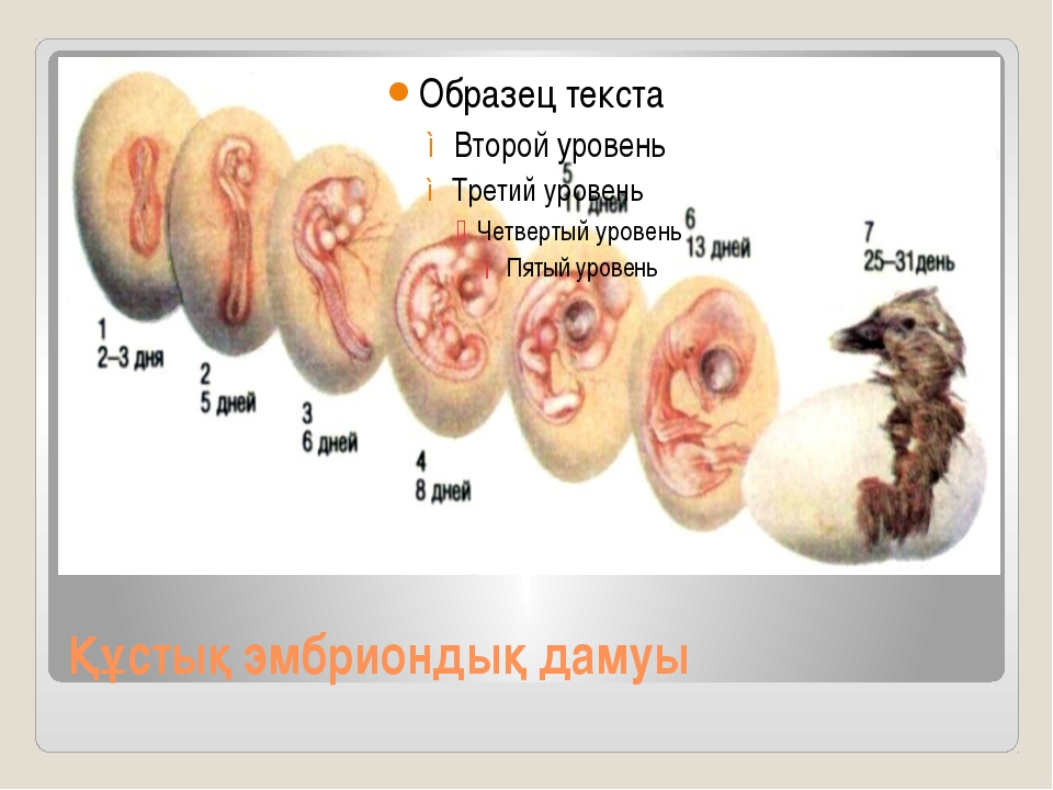 Құстық эмбриондық дамуы