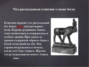 Египтяне верили, что ритуальный бег быка-Апис оплодотворяет поля. Корова, род
