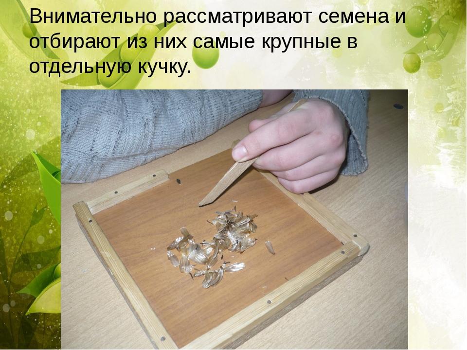 Внимательно рассматривают семена и отбирают из них самые крупные в отдельную...
