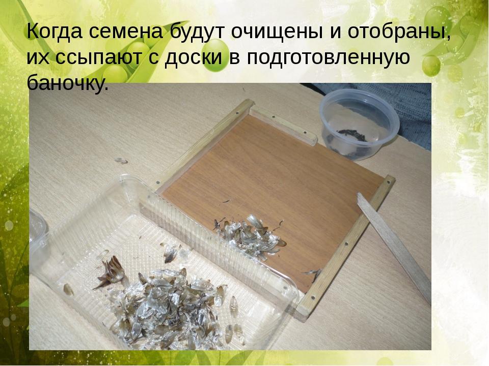 Когда семена будут очищены и отобраны, их ссыпают с доски в подготовленную б...
