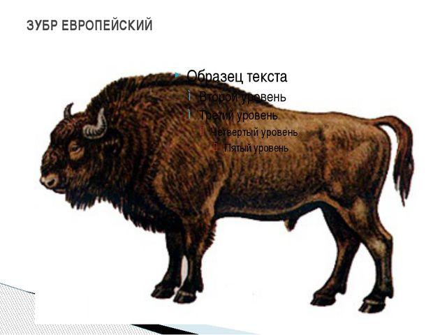 ЗУБР ЕВРОПЕЙСКИЙ