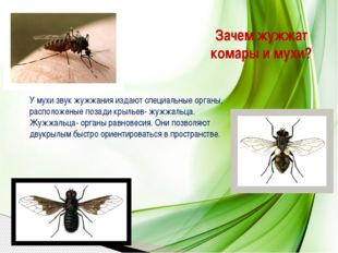 Зачем жужжат комары и мухи? У мухи звук жужжания издают специальные органы, р
