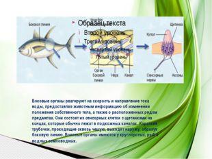 Боковые органы реагируют на скорость и направление тока воды, предоставляя жи