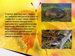 У норных животных (крот , мыши и др.) вибриссы находятся не только на голове,