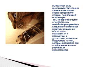 выполняют роль высокочувствительных антенн и оказывают кошке неоценимую помощ
