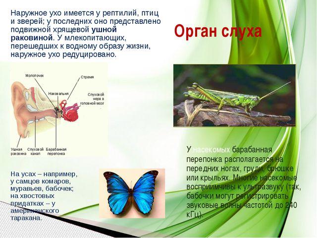 Орган слуха Наружное ухо имеется у рептилий, птиц и зверей; у последних оно п...