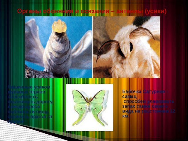 Бабочка Сатурния - самец способен улавливать запах самки своего вида на расст...