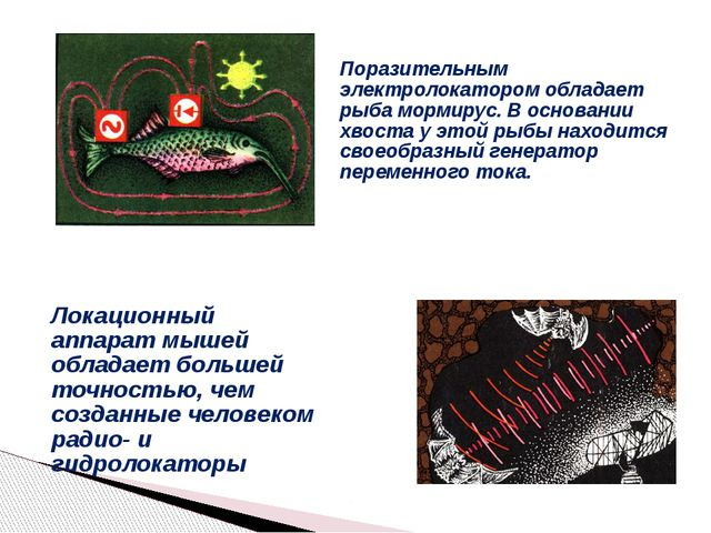 Поразительным электролокатором обладает рыба мормирус. В основании хвоста у э...