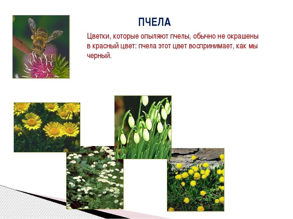 ПЧЕЛА Цветки, которые опыляют пчелы, обычно не окрашены в красный цвет: пчела...