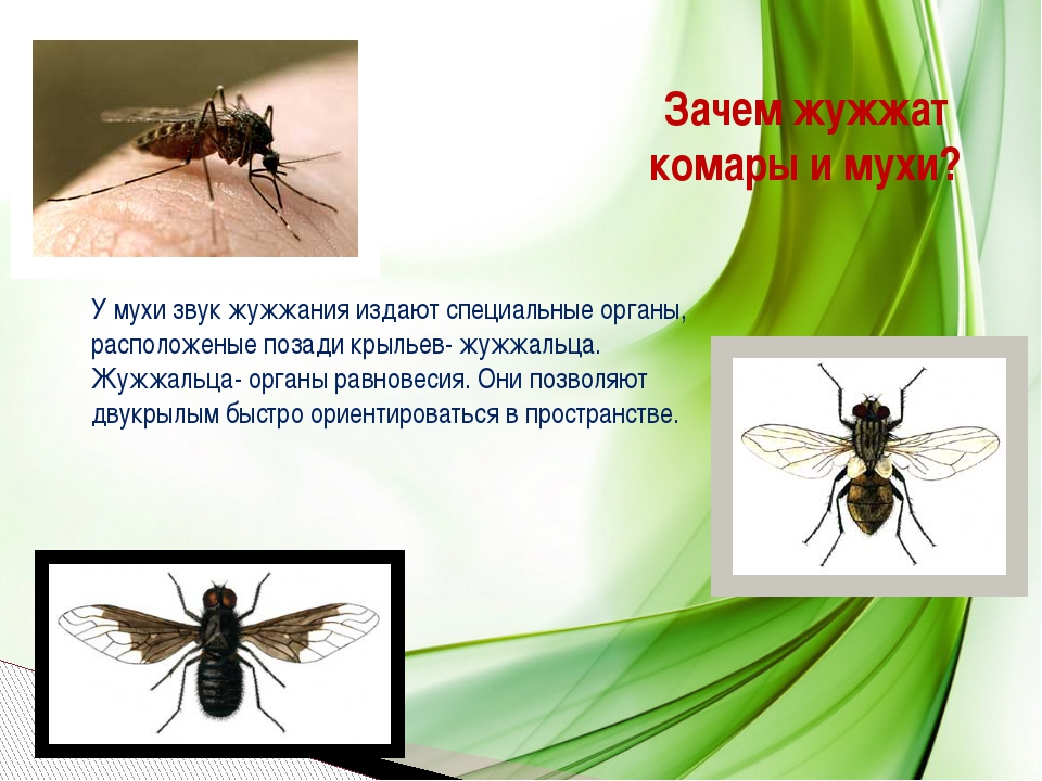 Зачем жужжат комары и мухи? У мухи звук жужжания издают специальные органы, р...