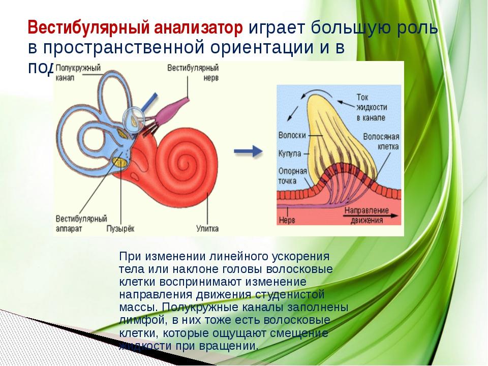 Вестибулярный анализатор играет большую роль в пространственной ориентации и...