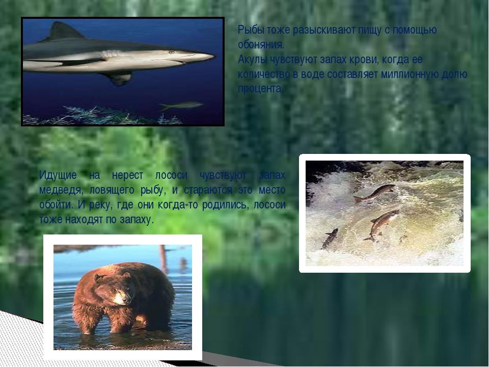 Рыбы тоже разыскивают пищу с помощью обоняния. Акулы чувствуют запах крови,...