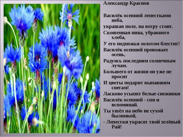 Александр Краснов Василёк осенний лепестками неба, украшая поле, на ветру сто...