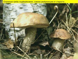 Огромные грибы подберёзовики, совсем разбрюзгшие от старости…